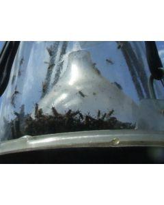 Hofman Dew Trap Loer funnel loose